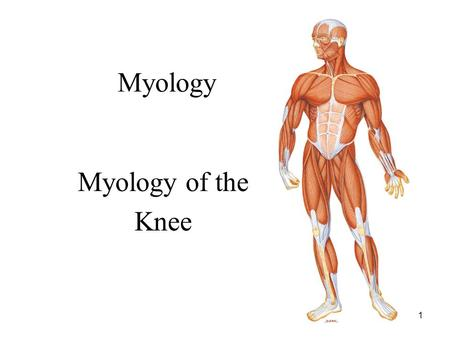 1 Myology Myology of the Knee. 2 Distal Femur Anatomy: –Medial and lateral condyles: rounded portions of distal femur that articulate with the proximal.