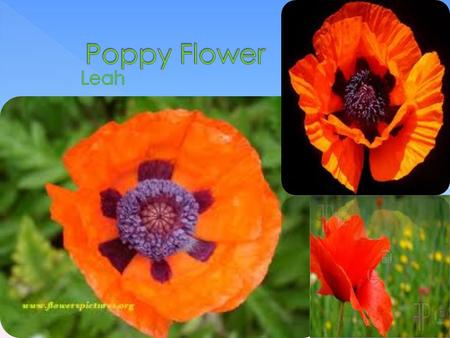  They grow between 30 and 76 centimeters  Poppy flowers don't last long Poppies are one of the gardening world's most popular flowers. There are many.