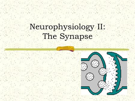 Neurophysiology II: The Synapse Synapse Defined Space between adjacent neurons! Relays information from one neuron to another! Neuron  Neuron Neuron.