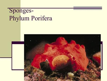 Sponges- Phylum Porifera. Characteristics of Porifera:- 1)No definite symmetry. 2)Body multicellular, few tissues, no organs. 3)Cells and tissues surround.