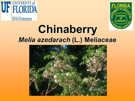 Chinaberry Melia azedarach (L.) Meliaceae. Biology Small to medium tree 20 to 50 feet tallSmall to medium tree 20 to 50 feet tall Native to AsiaNative.
