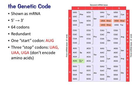 " Shown as mRNA  5′ → 3′  64 codons  Redundant  One ""start"" codon: AUG  Three ""stop"" codons: UAG, UAA, UGA (don't encode amino acids) the Genetic."