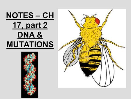 NOTES – CH 17, part 2 DNA & MUTATIONS