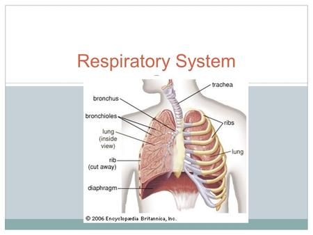 Respiratory System. Write the BLACK Read the RED.