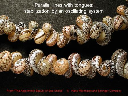 "Parallel lines with tongues: stabilization by an oscillating system From ""The Algorithmic Beauty of Sea Shells"" © Hans Meinhardt and Springer Company."