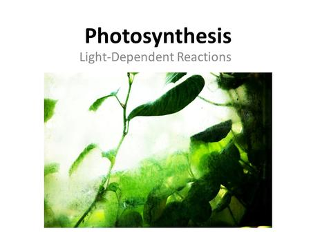 Photosynthesis Light-Dependent Reactions. Importance of Leaves Most photosynthesis occurs in the leaves.