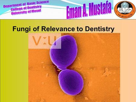 Fungi of Relevance to Dentistry. Department of Basic Science College of Dentistry University of Mosul Fungi are classified in to: 1-Yeast(unicellular)