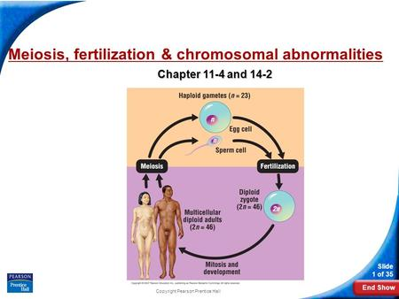 End Show Slide 1 of 35 Copyright Pearson Prentice Hall Meiosis, fertilization & chromosomal abnormalities Chapter 11-4 and 14-2.