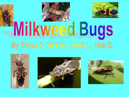 Habitat 1.Milkweed bugs live under the leaves of milkweed plants in small groups. 2.They need milkweed plants to survive. 3.They live in a climate that.