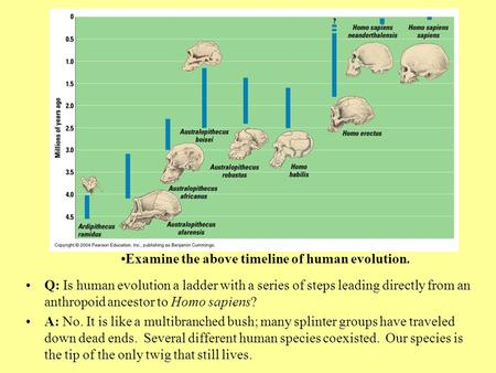Humans emerged on one very young twig on the vertebrate branch. Humans and chimps diverged from a common ancestor 5- 7 million years ago. Q: Are our ancestors.