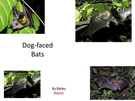 By Bailey Beatty. Animal Defenses The Dog - Faced Bat protects itself by biting,hissing, flying and blending in. Their enemies are cats, dogs, hawks,