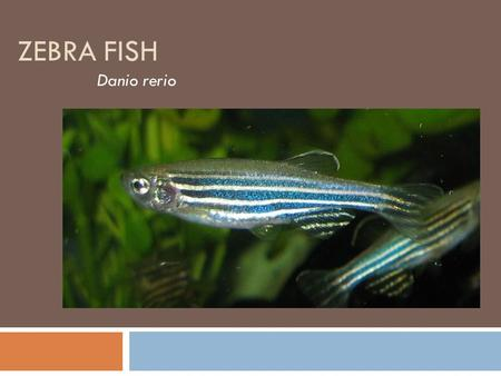 Developing the Zebrafish (Danio rerio) As a Model to ...