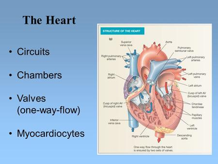 Circuits Chambers Valves (one-way-flow) Myocardiocytes The Heart.