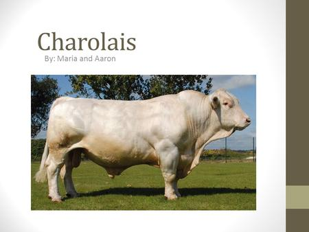 Charolais By: Maria and Aaron. Breed Characteristics They are usually white in color with a pink muzzle and pale hooves. There are now Charolais cattle.
