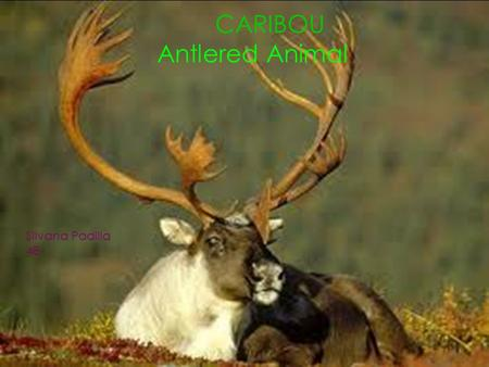 CARIBOU, Antlered Animal By: Silvana Padilla 4B CARIBOU Antlered Animal Silvana Padilla 4B.