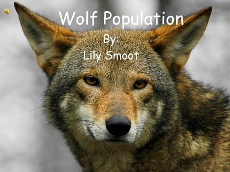 Wolf Population By: Lily Smoot Wolf Increase If the population of the wolfs predators just all of a sudden disappeared than the wolf population would.