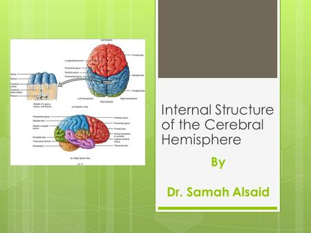 By Dr. Samah Alsaid Internal Structure of the Cerebral Hemisphere.