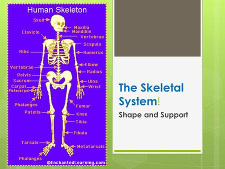 The Skeletal System ! Shape and Support.  The human skeleton consists of 206 bones. We are actually born with more bones (about 300), but many fuse together.
