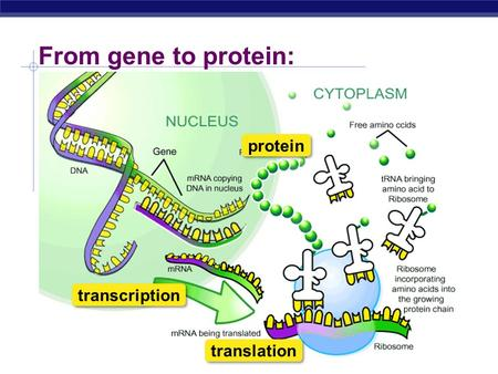 Regents Biology From gene to protein: transcription translation protein.