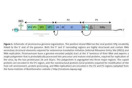 Figure 1. Schematic of picornavirus genome organization. The positive-strand RNA has the viral protein VPg covalently linked to the 5′ end of the genome.