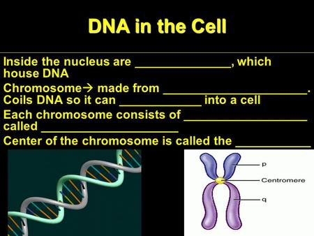 DNA in the Cell Inside the nucleus are ______________, which house DNA Chromosome  made from _____________________. Coils DNA so it can ____________ into.