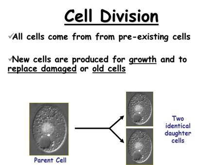 Cell Division All cells come from from pre-existing cells All cells come from from pre-existing cells New cells are produced for growth and to replace.