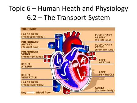 Topic 6 – Human Heath and Physiology 6.2 – The Transport System.