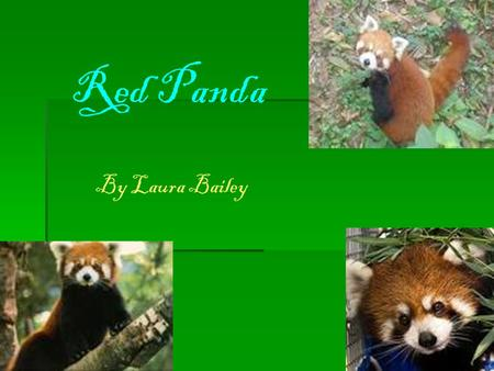 Red Panda By Laura Bailey. Red pandas ' red and white markings blend in with the red mosses and white lichens in their habitat. Red pandas live in the.