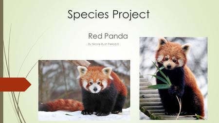 Species Project Red Panda By Nicole Rush Period 8.