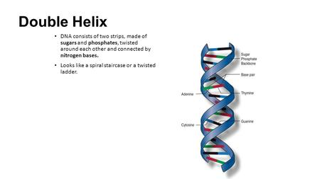 Double Helix DNA consists of two strips, made of sugars and phosphates, twisted around each other and connected by nitrogen bases. Looks like a spiral.
