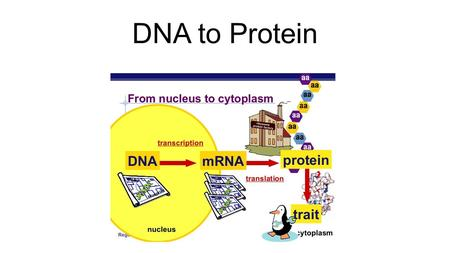 DNA to Protein. Chromosomes are made of tightly packed DNA A gene is a section of the DNA molecule that codes for a particular protein. The order of nitrogen.