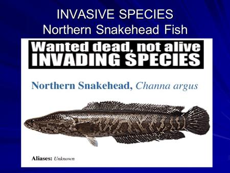 INVASIVE SPECIES Northern Snakehead Fish. Some History Native to Africa and Asia. First discovered in Maryland, USA in 2002.