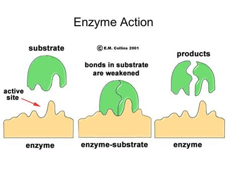 Enzyme Action.
