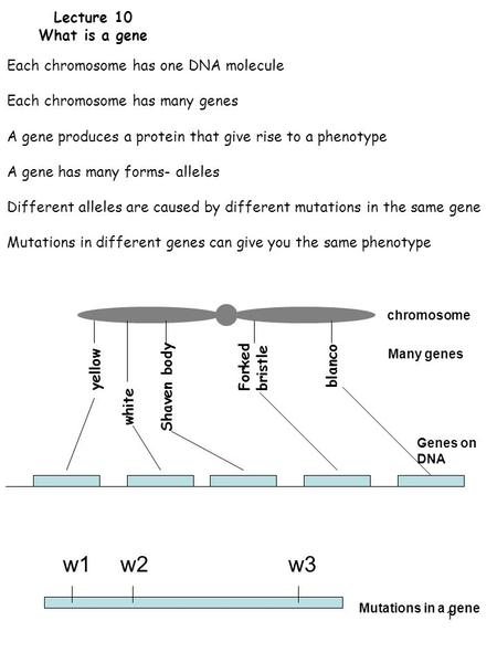 1 Lecture 10 What is a gene Each chromosome has one DNA molecule Each chromosome has many genes A gene produces a protein that give rise to a phenotype.