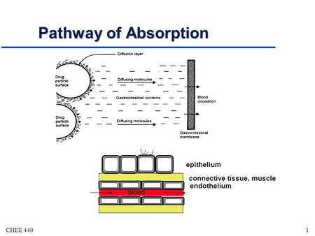 CHEE 4401 Pathway of Absorption blood endothelium epithelium connective tissue, muscle.