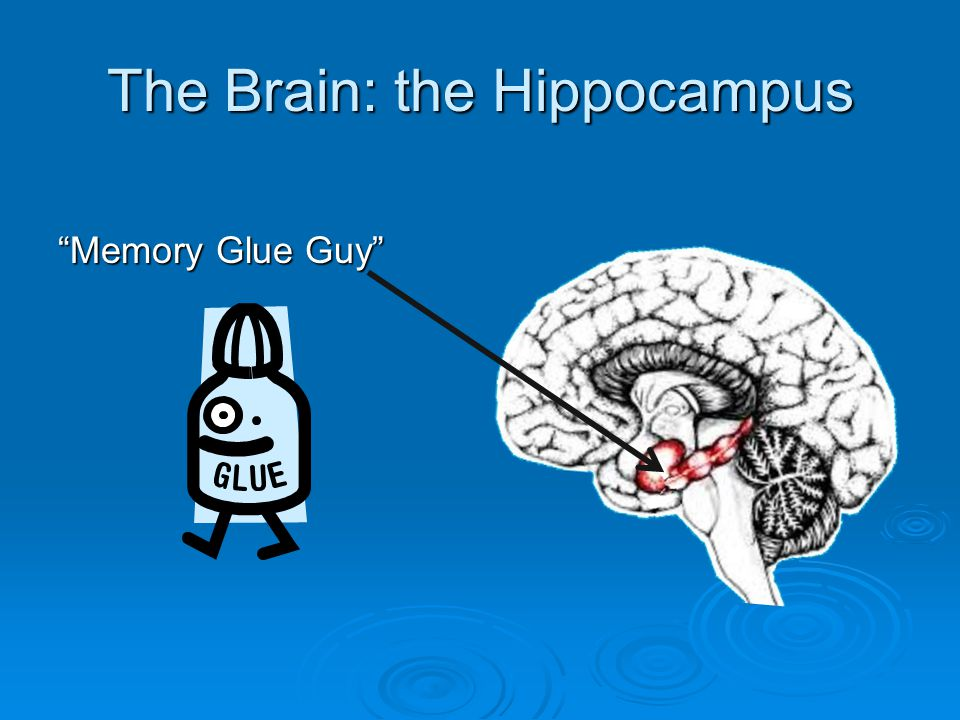 The Brain: the Hippocampus  Memory Glue Guy  Filters through information  Determines what to keep that is important  Determines what is temporary (not so important)