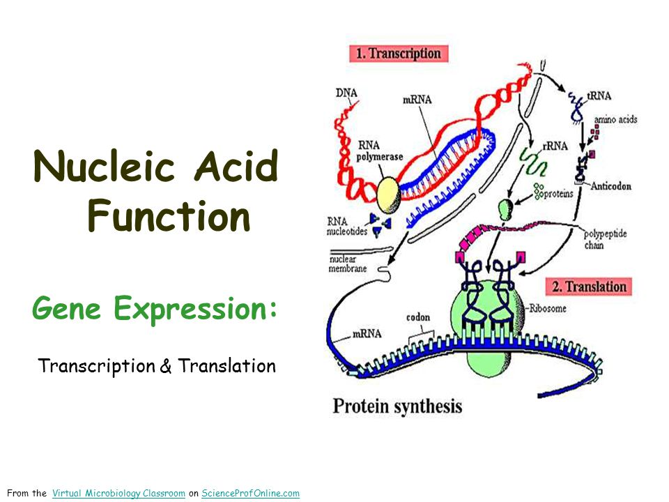 Nucleic Acids: RNA Structure  RNA is typically a single- stranded molecule.