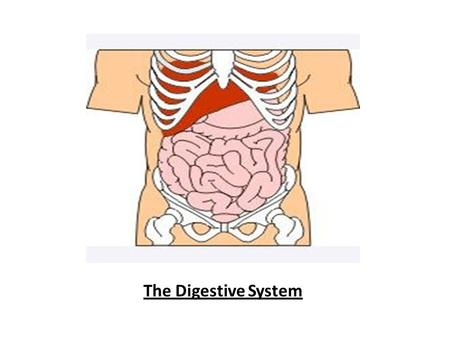 The Digestive System The Digestive System. Your Mouth As you lift the food up towards your mouth, what is the first thing you do to begin breaking it.