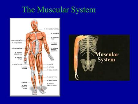The Muscular System. 1. The main function of the muscular system is to work with our skeletal system to help us move.