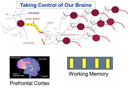 Axon Neuron Ends Cell Body Dendrites Myelin Sheath Working Memory Prefrontal Cortex Taking Control of Our Brains.