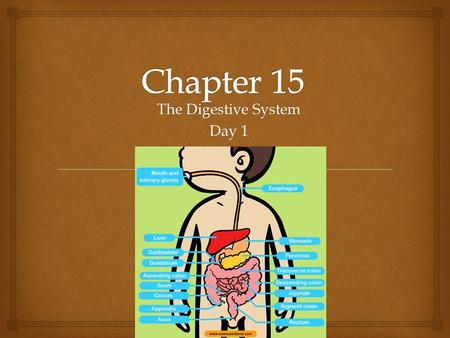 The Digestive System Day 1.   Digestive System:  Made up of the alimentary canal which extends from the mouth to anus  Includes:  Mouth, pharynx,