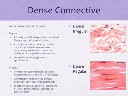 Dense Connective Can be regular, irregular, or elastic Regular: Primarily parallel collagen fibers, few elastic fibers, major cell type is fibroblast Attaches.