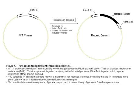 Figure 1. Transposon-tagged mutant chromosome (cmsm). WT S. typhimurium cells (WT cmsm on left) were mutagenized by introducing a transposon (Tn) that.