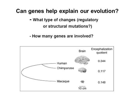 Can genes help explain our evolution? - What type of changes (regulatory or structural mutations?) - How many genes are involved?
