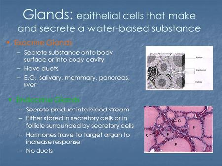 Glands: epithelial cells that make and secrete a water-based substance Exocrine Glands –Secrete substance onto body surface or into body cavity –Have ducts.