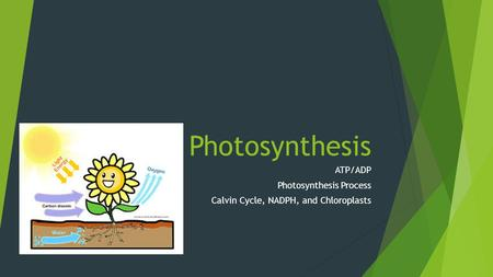 Photosynthesis ATP/ADP Photosynthesis Process Calvin Cycle, NADPH, and Chloroplasts.