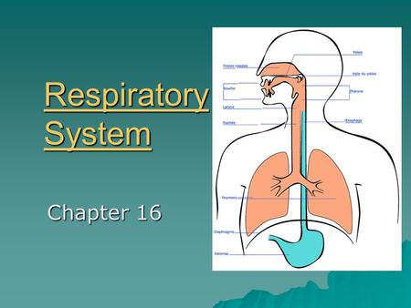 Respiratory System Respiratory System Chapter 16.