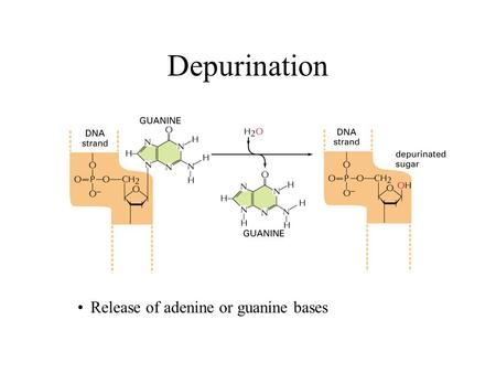 Depurination Release of adenine or guanine bases.