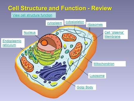 "Cell Structure and Function - Review Cell ""plasma"" Membrane Nucleus Mitochondrion Endoplasmic reticulum Golgi Body Lysosome ribosomes cytoplasm cytoskeleton."