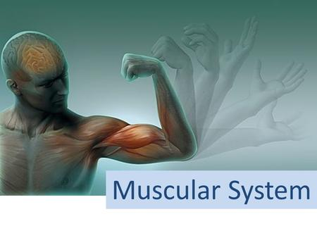 Muscular System The 3 Types of Muscles SKELETAL MUSCLE STRUCTURE.